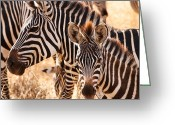 African Greeting Cards - Zebras Greeting Card by Adam Romanowicz