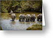 On-the-look-out Greeting Cards - Zebras Drinking with One on the Lookout Greeting Card by Darcy Michaelchuk