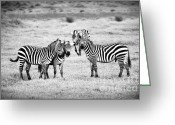 Game Animals Photo Greeting Cards - Zebras in Black and White Greeting Card by Sebastian Musial
