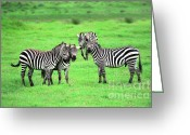 Game Animals Photo Greeting Cards - Zebras Greeting Card by Sebastian Musial