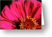 Flower Blossom Greeting Cards - Zinnia in Late Evening Light Greeting Card by Thomas R Fletcher