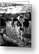 Cows Framed Prints Greeting Cards - Zoey and Matilda in the Blissful Sun Greeting Card by Danielle Summa
