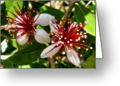 Guava Greeting Cards - Guava Blossoms Greeting Card by Alexis Baranek