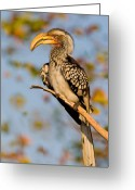 Perched Birds Greeting Cards - Hornbill in the Morning Greeting Card by Basie Van Zyl