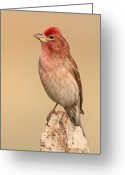 Crest Greeting Cards - House Finch With Crest Askew Greeting Card by Max Allen