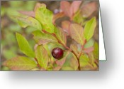 Huckleberry Greeting Cards - Huckleberry Greeting Card by Idaho Scenic Images Linda Lantzy