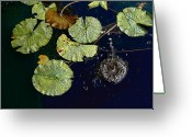 Lilly Pad Greeting Cards - Life of a lily pad 3 Greeting Card by Nicholas J Mast