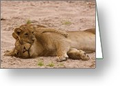 Zambia Photo Greeting Cards - Lion cub hugs mother Greeting Card by Johan Elzenga