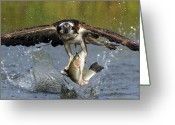 Eyes Greeting Cards - Osprey Catching Trout Greeting Card by Scott  Linstead