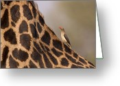 Zambia Photo Greeting Cards - Oxpecker on giraffe back Greeting Card by Johan Elzenga