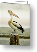 Pelican Greeting Cards - Pelican Poise Greeting Card by Holly Kempe