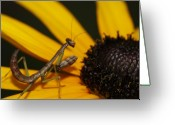 Mantis Greeting Cards - Praying Mantis Greeting Card by Deepak Kumar
