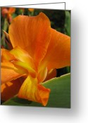 Canna Greeting Cards - Pumpkin Canna Greeting Card by Betty Mackey