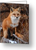 Resting Greeting Cards - Red Fox Pausing Atop Log Greeting Card by Max Allen