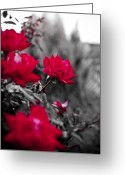 Red Roses Greeting Cards - Red Roses Greeting Card by Dustin K Ryan