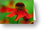 Cone Flower Greeting Cards - Swirling Sneezeweed Greeting Card by Juergen Roth