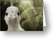 Albino Peacock Greeting Cards - Th white peacock Greeting Card by Angel  Tarantella