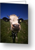 Cattle Greeting Cards - The wideangled cow  Greeting Card by Angel  Tarantella