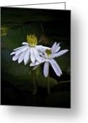 Lily Pad Greeting Cards - Togetherness Greeting Card by Holly Kempe