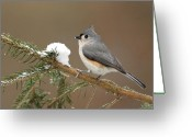 Titmouse Greeting Cards - Tufted Titmouse Greeting Card by Alan Lenk