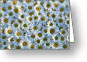 White Daisies Greeting Cards - White daisy flowers 2 Greeting Card by David Nunuk