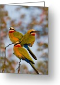 Perched Birds Greeting Cards - White-fronted Bee-eaters Greeting Card by Basie Van Zyl