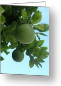 Pomelo Greeting Cards - Wild Honey Pomelo Fruit Tree Greeting Card by Kathy Daxon