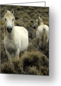 Wild Horses Greeting Cards - Wild Stallion Greeting Card by Marty Koch