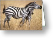 Stripes Greeting Cards - Zebra and foal Greeting Card by Johan Elzenga
