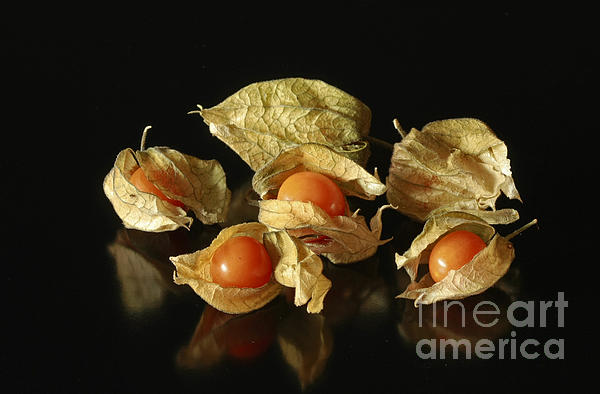 A Taste Of Columbia Physalis Aztec Golden Goose Berry Print by Inspired Nature Photography By Shelley Myke
