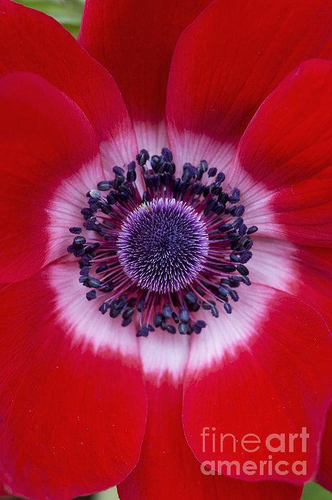 Anemone Coronaria Harmony Scarlet Flower Print by Tim Gainey