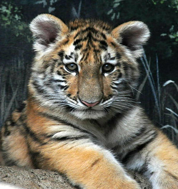 Scott B Bennett -  Bengal Tiger Cub Im the baby