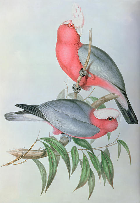 Birds Of Asia Print by John Gould