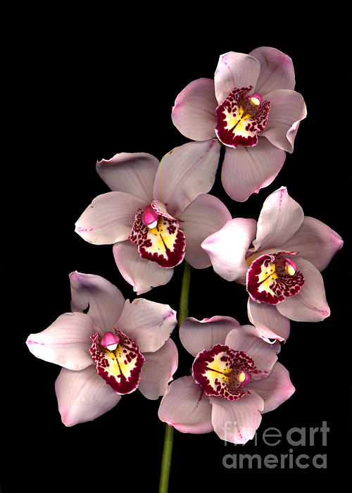 Pink Orchid Print by Jacqui Martin