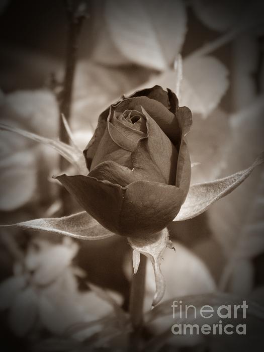 Rosebud Sepia Print by Chalet Roome-Rigdon