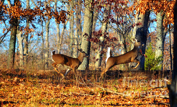 White Tail Deer Leaping  Print by Peggy  Franz