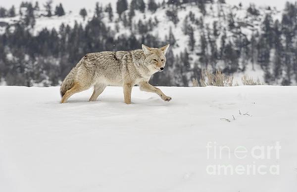 Winter's Determination Print by Sandra Bronstein