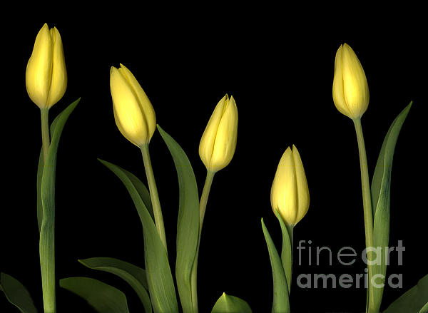 Yellow Tulips Print by Jacqui Martin