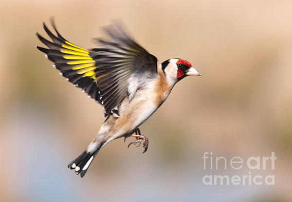 M S Photography Art -  Goldfinch in flight