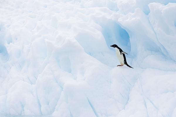 Adelie Penguin On Iceberg Print by Suzi Eszterhas