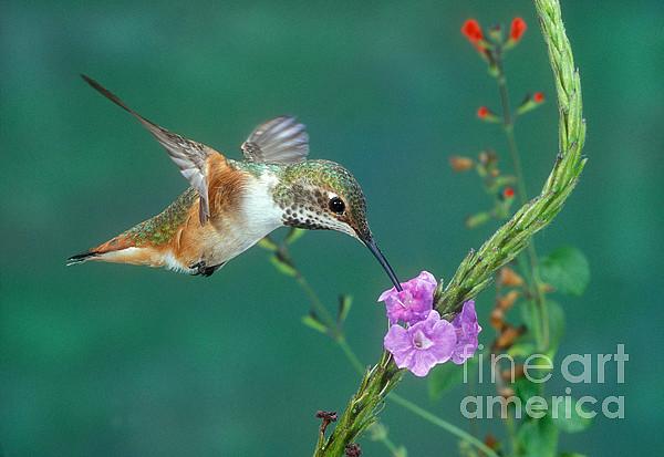 Allens Hummingbird Print by Anthony Mercieca