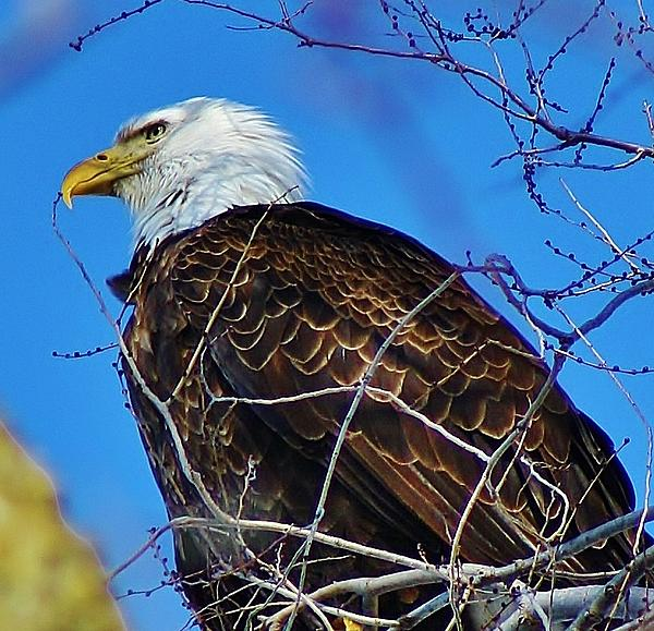 American Bald Eagle Print by Bruce Bley