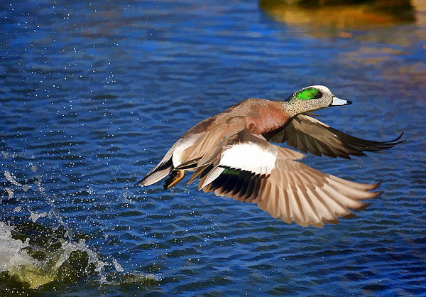 Donna Kennedy - American Wigeon