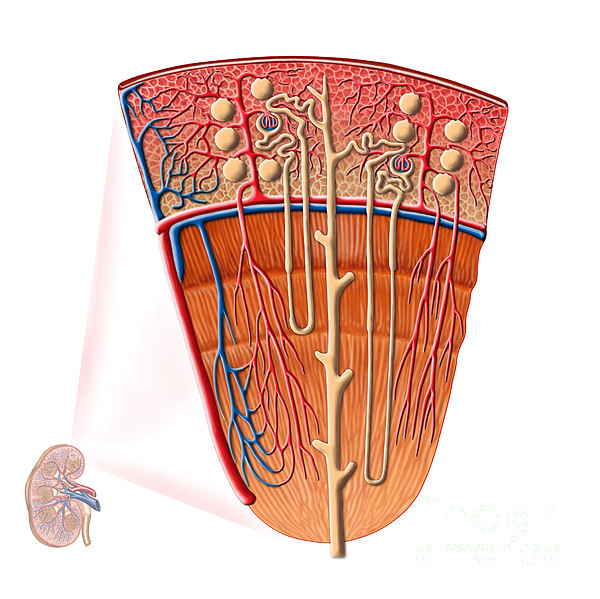 Anatomy Of Human Kidney Function Print by Stocktrek Images
