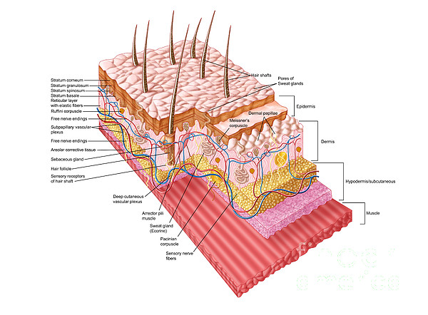 Anatomy Of The Human Skin Print by Stocktrek Images