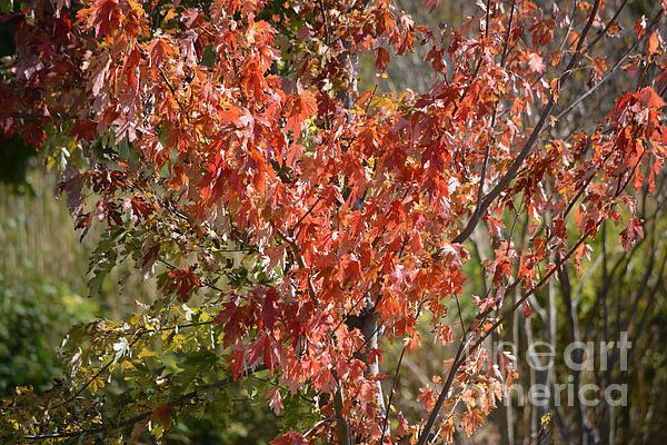 Ruth  Housley - Autumn Oak Tree