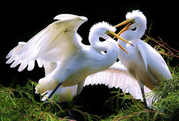 Baby Egrets In The Nest Print by Paulette Thomas
