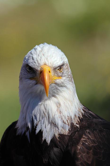 Bald Eagle Print by Jim Nelson