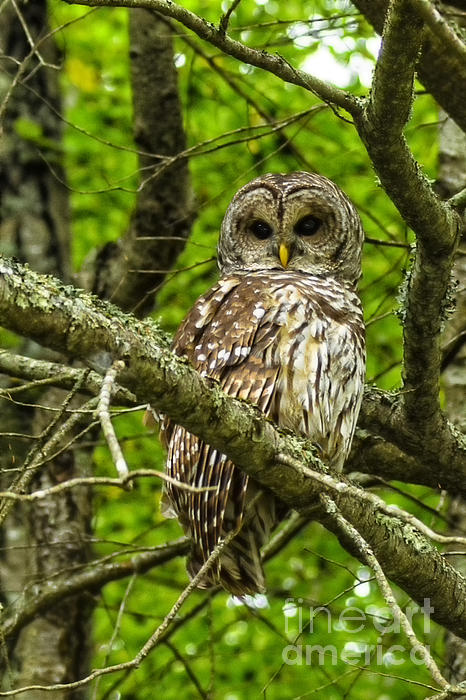 Thomas R Fletcher - Barred Owl
