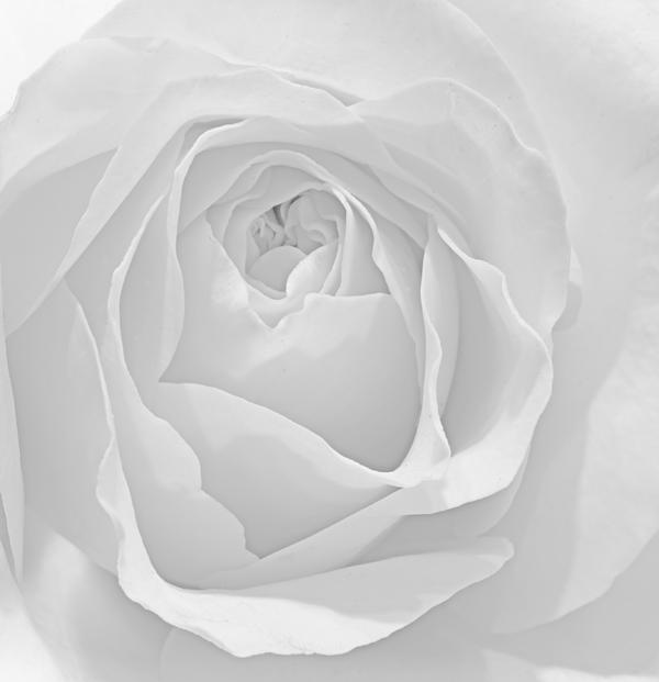 Beautiful Macro Close Up Of Fresh Sprring Rose Flower With Vibra Print by Matthew Gibson